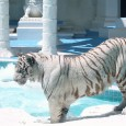 Siegfried & Roy's Secret Garden and Dolphin Habitat at the Mirage is home to several exotic mammals of the land and sea to include white lions, white tigers, panthers, leopards, […]